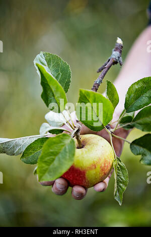 Childs hands with apple - Stock Image