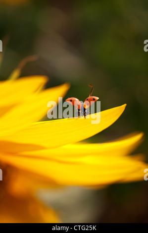 flying ladybug with sunflower petals - Stock Image