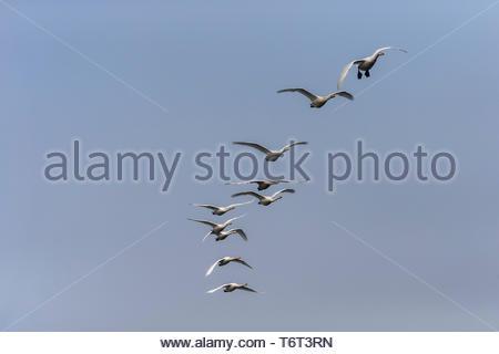 Whooper swans (Cygnus cygnus) in flight, Caerlaverock WWT reserve, Dumfries & Galloway, Scotland, - Stock Image