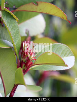 Green and red leaves and red flowers photographed in Nyon, Switzerland. Beautiful closeup of the colorful plant. Daytime image with natural light. - Stock Image