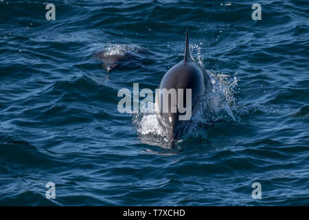 Long-beaked common dolphins (Delphinus capensis) off the coast of Baja California, Mexico. - Stock Image
