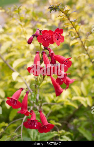 Red Penstemon flowers in late summer. Beard tongue flower. - Stock Image