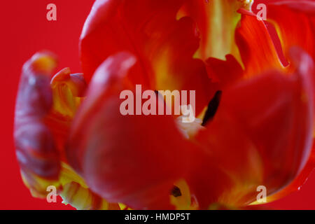 red parrot tulip close up of stigma and anthers - nurture Jane Ann Butler Photography  JABP1808 - Stock Image