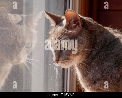 Gray tabby cat looking out window. - Stock Image