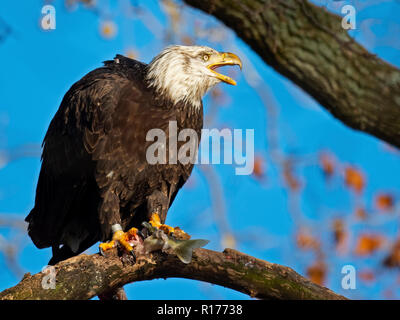 Bald Eagle in Tree Eating Fish - Stock Image