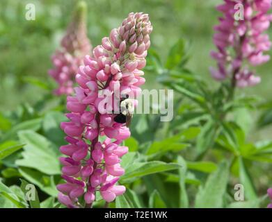 American Bumblebee, Bombus pensylvanicus, gathering nectar from Lupine, Lupinus blossom. - Stock Image