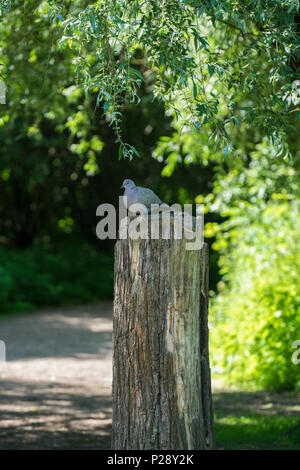 Collared Dove on tree trunk - Stock Image