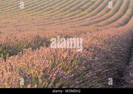 Close-up of lavender fields in Valensole, Provence, France - Stock Image