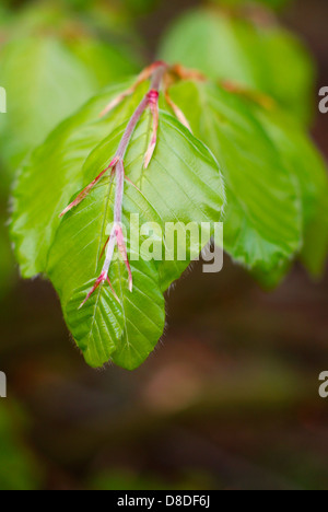 Fresh young Beech leaves emerging and unfurling in Springtime - Fagus sylvatica, European/Common Beech Tree. - Stock Image