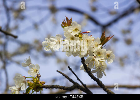 Early apple or cherry blossom on a tree growing wild in a farmland hedgerow near Killyleagh in County Down, Northern Ireland - Stock Image