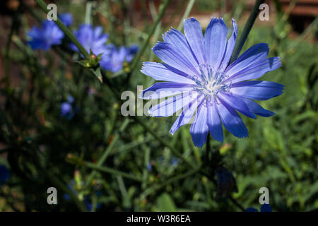 Chicory blossoms in the garden, coffee grass - Stock Image