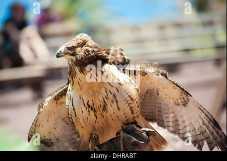 Young eagle on perch - Stock Image