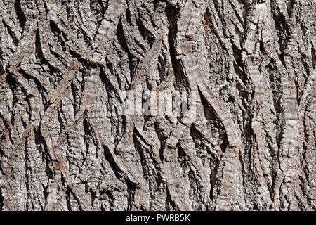 Close-up of the furrowed bark of a mature sweet chestnut Castanea sativa tree, Vancouver, BC, Canada - Stock Image