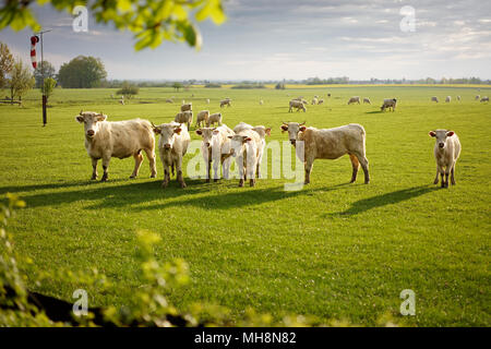 Group of cows on the fresh green meadow by the morning sunrise. - Stock Image
