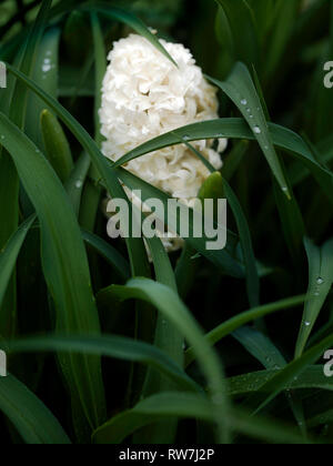 White Hyacinth Bloom Nestled Amongst Green Leaves with Raindrops - Stock Image