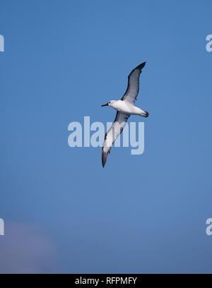 An Atlantic Yellow-nosed Albatross off the coast of SE Brazil - Stock Image