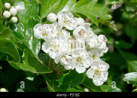 Hawthorn (crataegus monogyna), also known as Whitethorn or May-tree, a close up of a cluster of flowers. - Stock Image