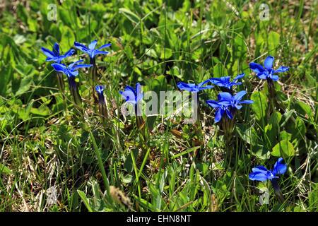 Spring Gentian (Gentiana verna) - Stock Image