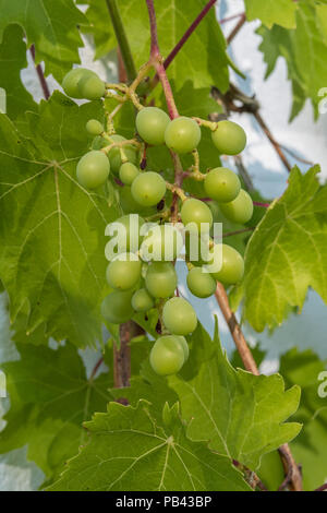Bunches of grapes forming on desert grape Muscat Bleu, against the white wall of a house in Devon. - Stock Image
