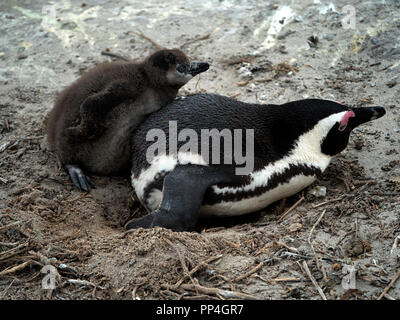 African penguins (Spheniscus demersus), also known as the jackass penguin and black-footed penguin of Boulders Beach, Western Cape near Cape Town, Sou - Stock Image