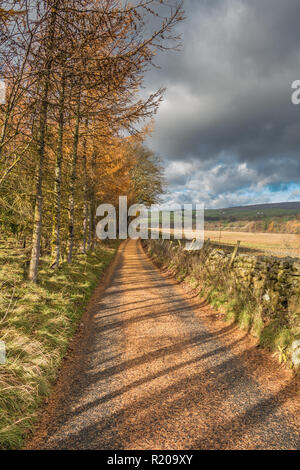 A country lane covered in recently shed gold deciduous needles from Larch trees, Holwick, Teesdale, UK - Stock Image