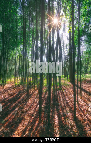 sunny bamboo forest with sun rays - Stock Image