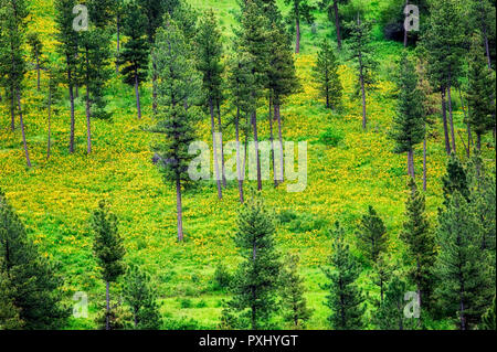 Yellow Balsomroot on forest floor with Ponderosa Pine forest. Near Flora, Oregon - Stock Image