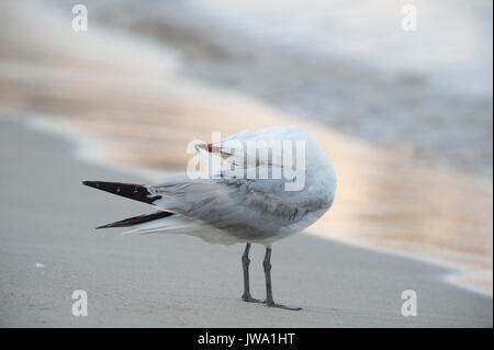 Audouin's Gull, Larus audouinii, preening on the shore,Ibiza, Balearic Islands, Mediterranean Sea - Stock Image