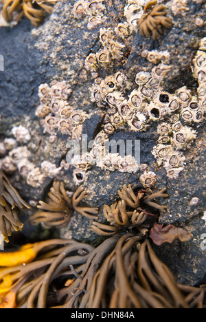 Barnacles on a dark rock at low  tide - Stock Image