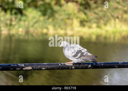 An urban pigeon or rock dove (Columba livia domestica) in a crouching perch on a metal railing in front of the river Avon in Chippenham - Stock Image
