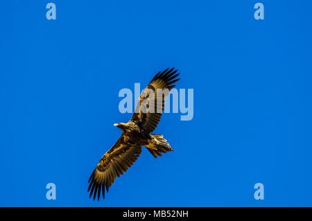 wedge tailed eagle, boulia, queensland, australia - Stock Image
