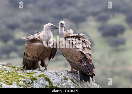 Griffon Vulture, Gänsegeier, Gyps fulvus, pair in breeding area, Monfragüe National Park, Extremadura, Spain - Stock Image