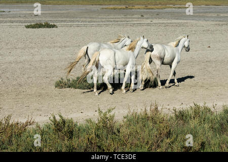 White horses running in the Camargue, Provence-Alpes-Cote d'Azur, France - Stock Image