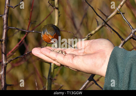 A European Robin (Erithacus rubecula ssp melophilus) eating grain from someone's hand in Southern England - Stock Image