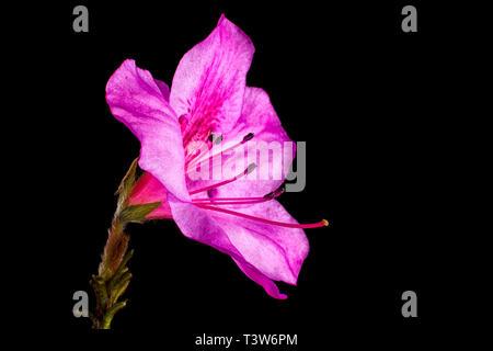mirabilis flower macro on black background - Stock Image