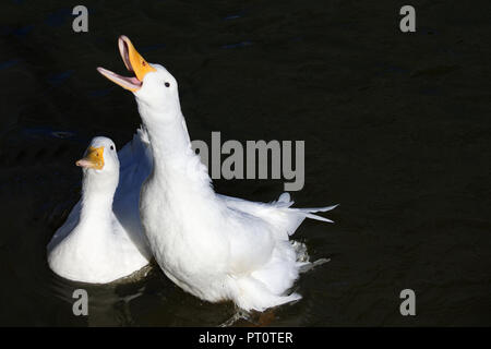 American Pekin Duck reaching out of the water for duck food - Stock Image