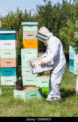 Male Beekeeper Carrying Honeycomb Crate - Stock Image