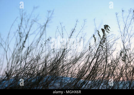 Blurred winter weeds at dawn set against a blue winter sky with movement of the wild plant life and intentional motion blue - Stock Image