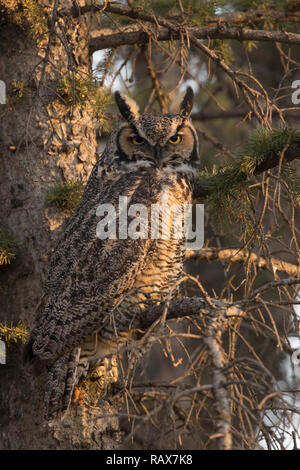 Great Horned Owl (Bubo virginianus) perching in a spruce tree in riparian forest - Stock Image