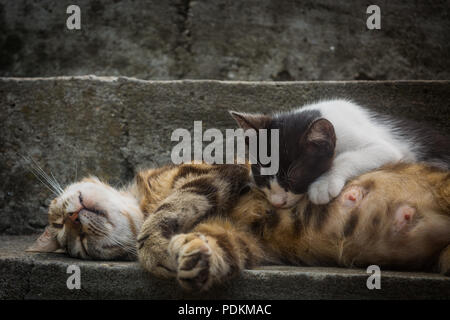 Sleeping calico cat mother (white with black and ginger patches) is feeding her black and white kitten at grey concrete stairs - Stock Image