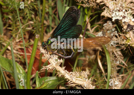 Beautiful demoiselle damselfly (Calopteryx virgo), male flapping his wings as he lifts the female upward so she can mate, UK. - Stock Image
