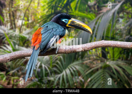 Chestnut-eared aracari / chestnut-eared araçari (Pteroglossus castanotis) perched in tree, native to Central America and South America - Stock Image