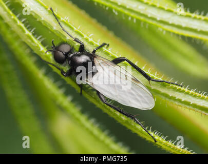 Dorsal view of male St Marks fly (Bibio marci) resting on plant. Tipperary, Ireland - Stock Image