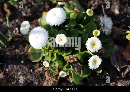 White chrysanthemum flowers in a closeup image taken during a sunny spring day in Nyon, Switzerland. In this photo you see multiple chrysanthemums. - Stock Image
