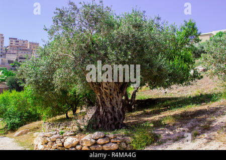 An ancient Olive Tree on a terrace in Nazareth Village Israel in the open air museum of Nazareth Village Israel. This site provides an authentic look  - Stock Image