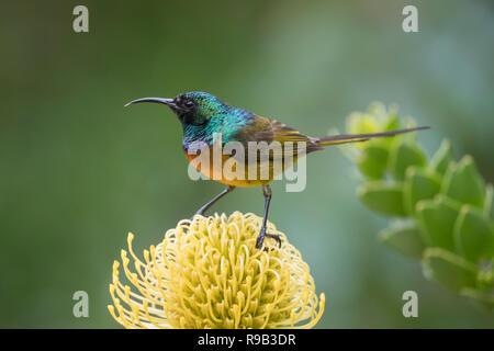 Orange-breasted sunbird (Anthobaphes violacea) on pincushion 'yellow bird', Kirstenbosch National Botanical Garden, Cape Town, South Africa, - Stock Image