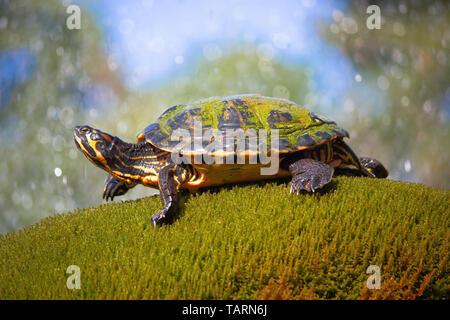 Yellow bellied slider turtle in natural environment view, wildlife of Croatia, Sibenik, Dalmatia - Stock Image