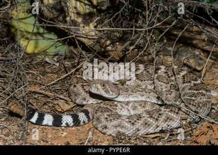 A Western Diamondback rattlesnake (Crotalus atrox) hunting at night for birds or rodents (Arizona) - Stock Image