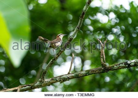 rufous-naped Wren (Campylorhynchus rufinucha) Costa Rica - Stock Image