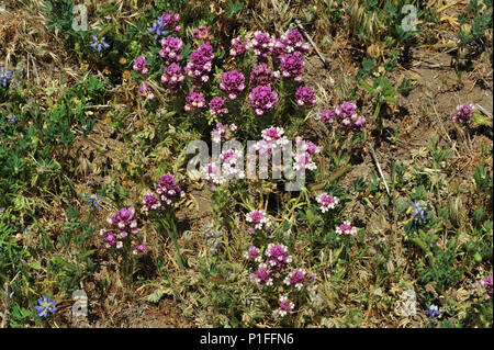 Owl's clover, Castilleja sp. , Cuyamaca Rancho State Park, CA 080518_30380 - Stock Image